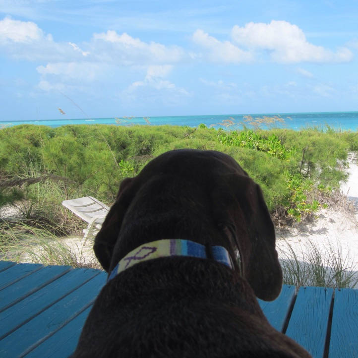 Chocolate, a Weimaraner German Short Hair Pointer mix, enjoying the view from the gazebo....it's a dogs life in the Bahamas 🌴